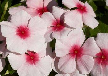 Катарантус: описание и правила выращивания