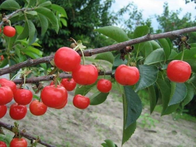 Чем подкормить вишню осенью исходя из сортовых характеристик, уход за деревом