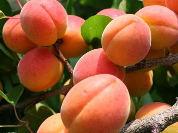 Лучшие морозостойкие и неприхотливые сорта абрикосов для подмосковья: название и описание, отзывы садоводов
