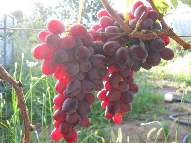 Виноград рубин голодриги: характеристика и описание сорта, посадка и уход