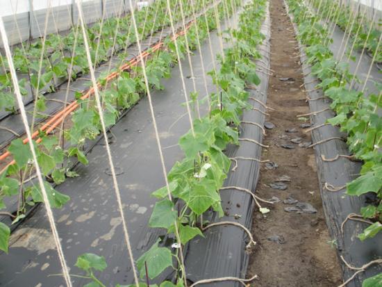 Посадить огурцы под укрывной материал. лучший способ выращивания огурцов на пленке без прополки и окучивания. какой материал хороший и как выбрать