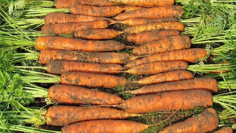 Характеристика и описание сорта моркови Нантская, сроки созревания и выращивание