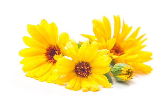 Растение календула: лечебные свойства и противопоказания