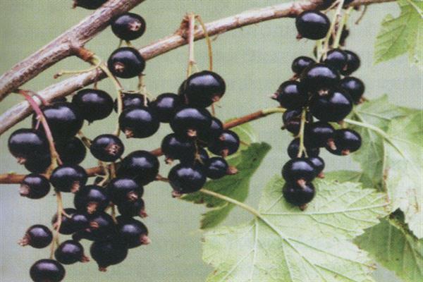 Смородина добрыня: описание сорта и 7 правил выращивания