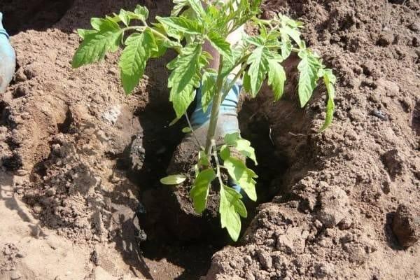 Правильная почва для посадки томатов. какую землю любит овощ — кислую или щелочную? можно ли сделать грунт самостоятельно?