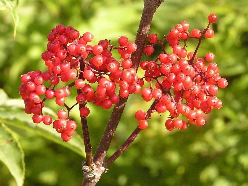 Бузина черная (лат. sambucus nigra) – лечебные свойства и противопоказания