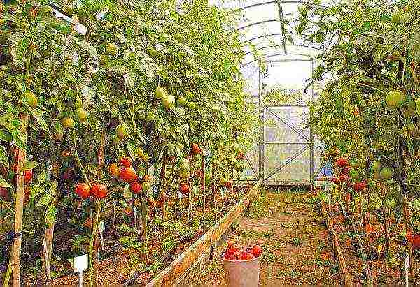 Посадка, выращивание и уход за томатами в теплице в домашних условиях