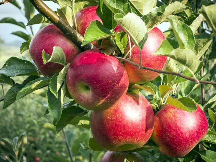 Яблоня беркутовское: разбираем вместе