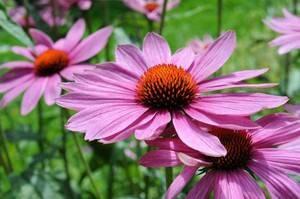 Эхинацея пурпурная. лечебные свойства, рецепты применения, противопоказания
