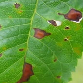 У яблони скручиваются и краснеют листья: что делать, чем лечить