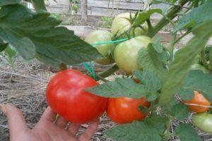 Характеристика и описание сорта томата беркли тай дай