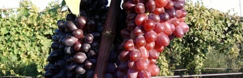 Описание сорта винограда кишмиш Юпитер, характеристики и особенности выращивания