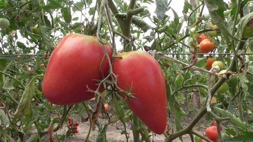 Сорт томата «красный купол»: описание, характеристика, посев на рассаду, подкормка, урожайность, фото, видео и самые распространенные болезни томатов