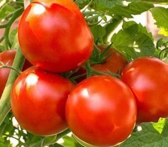 Богатый урожай томатов «аленка» с высокими товарными характеристиками: описание сорта, особенности выращивания помидоров