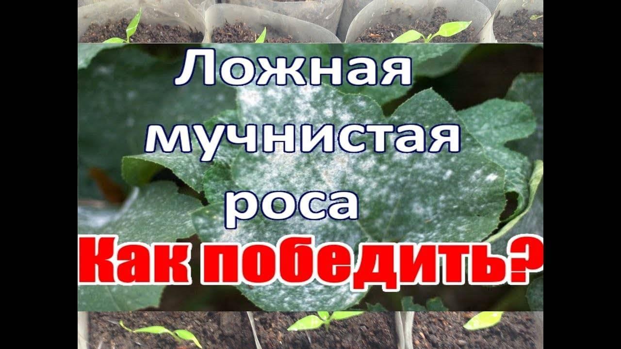 Защита огурцов от пероноспороза