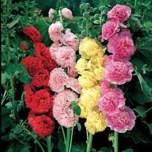 Шток роза. выращивание из семян и когда нужно сажать мальву