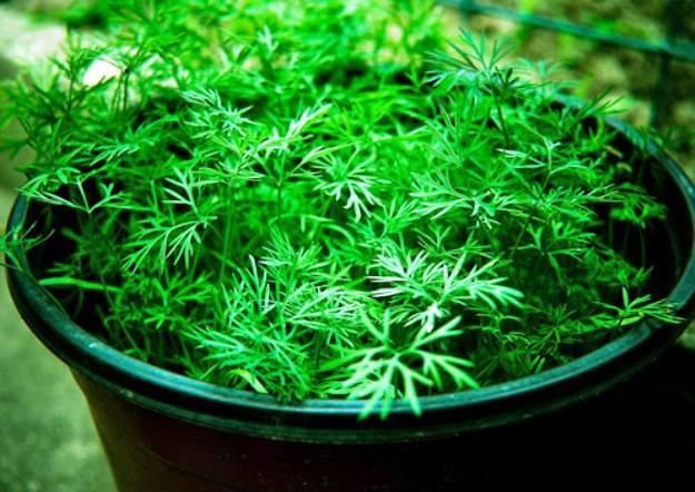 Укроп на подоконнике: как вырастить из семян зимой в домашних условиях