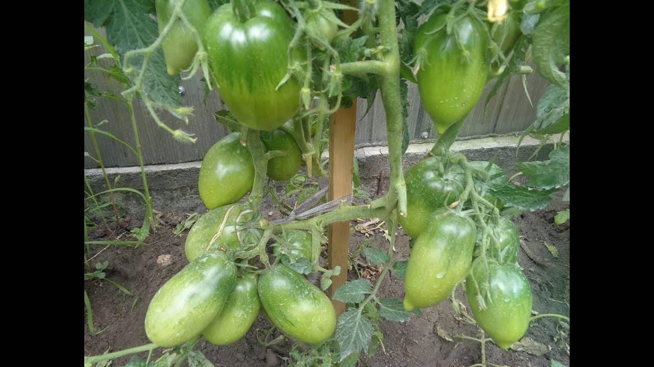 Уход и выращивание сорта томатов петруша огородник