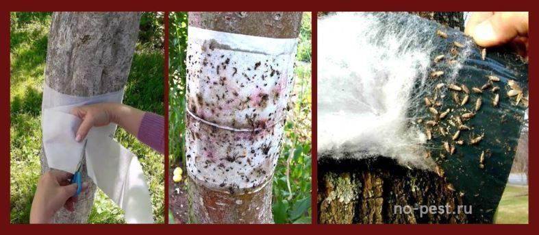 Как сделать ловчий пояс для плодовых деревьев своими руками