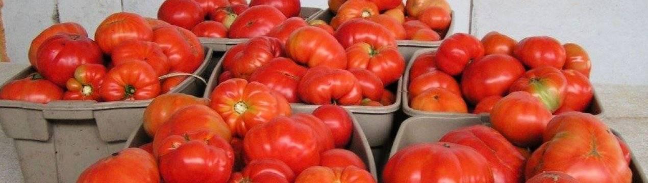 Сорта томатов проверенные временем: самые старые и популярные