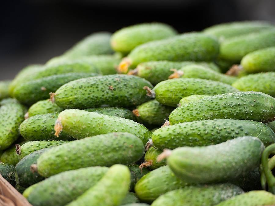 Огурцы эстафета: описание сорта, выращивание и урожайность с фото
