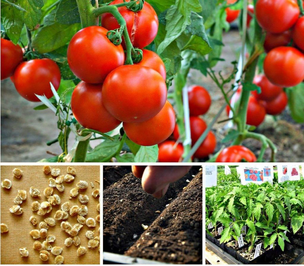 Когда сажать помидоры на рассаду в 2020 году, чтобы получить богатый урожай