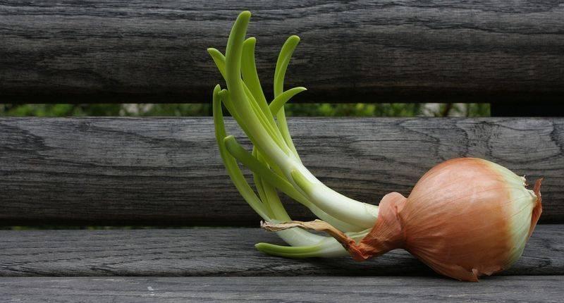 Описание, характеристика и особенности выращивания лука-порея сибирский великан f1