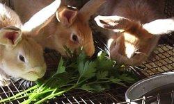 Давать ли свежий и иной укроп кроликам и другим животным? кого можно им кормить и как это делать правильно?