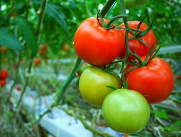 Описание сорта томата «демидов» — урожайность, вкус, сроки созревания