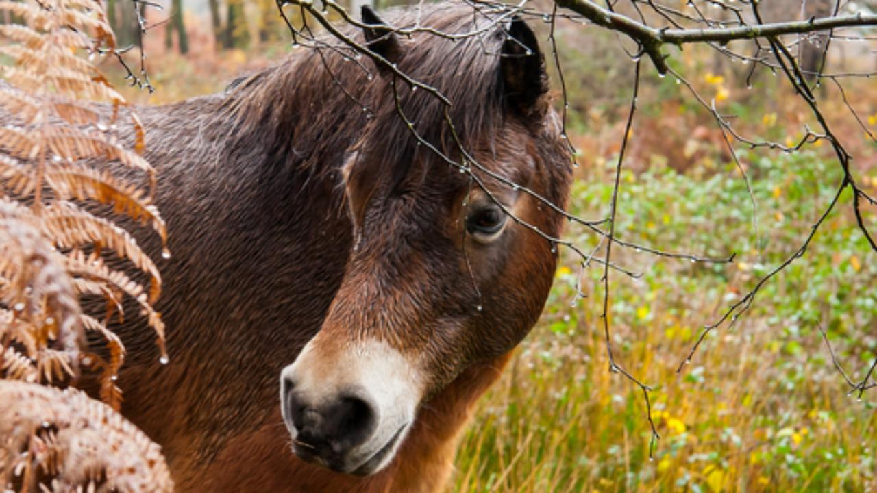 Описание и особенности разведения лошадей ганноверской породы