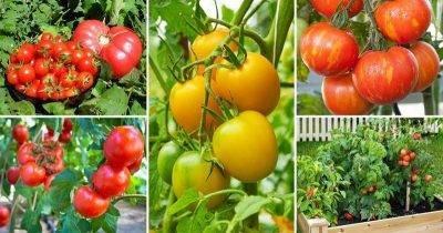 Рассада помидор плохо растет, что делать