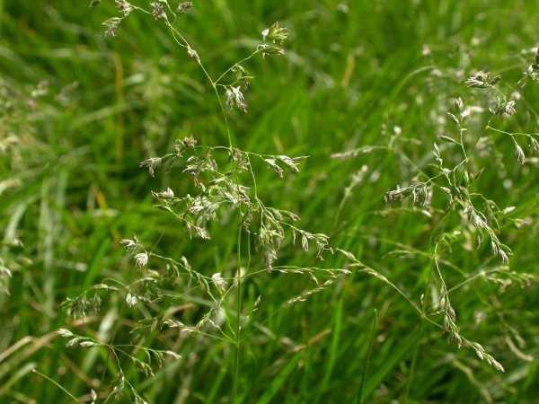 Газонная трава, уничтожающая сорняк — ее разновидности и агротехника