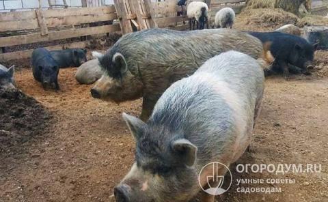 Сколько можно держать свиней в личном подсобном хозяйстве, нормы и требования