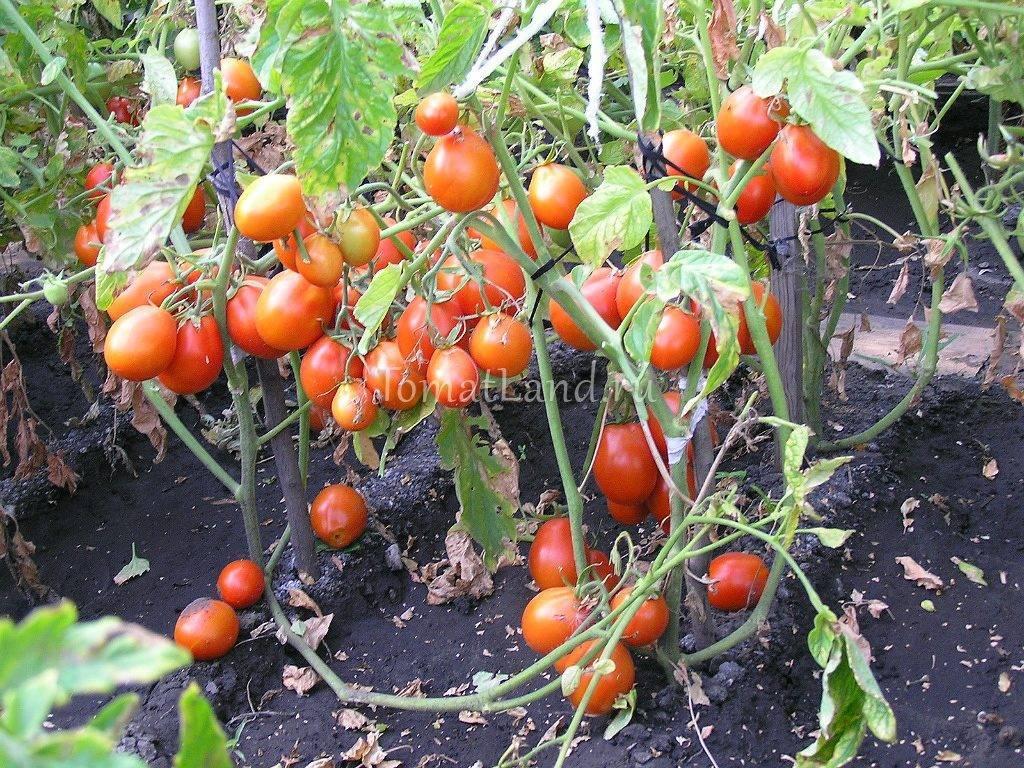 Описание сорта томата Кмициц, особенности ухода и урожайность