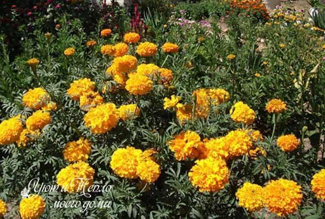 Бархатец (tagetes) или бархотка — садовые цветы и сорта на фото