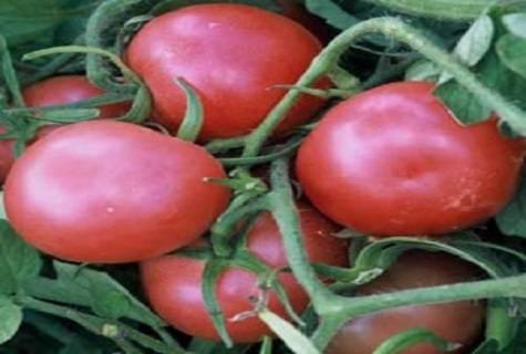 Томат роза ветров: характеристика и описание сорта. урожайность, фото и видео. отзывы огородников