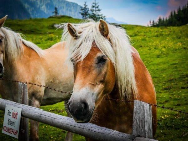 Рост лошадей — особенности, измерение, стимуляция