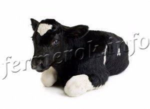 Что делать, если корова плохо ест?
