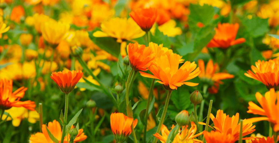 Календула: выращивание из семян, посадка и уход в открытом грунте