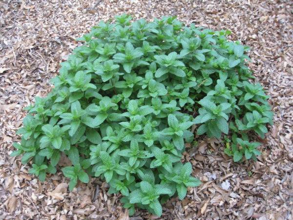 Описание сорта колосистой (садовой) мяты, особенности выращивания и ухода