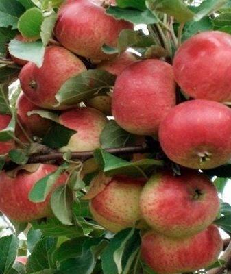 Описание сорта яблони россошанское вкусное (изумительное), выращивание и уход. изумительное яблоня изумительное