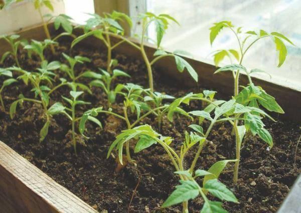 Черная ножка у помидор: болезни и советы что делать и как вылечить томаты. 110 фото и видео инструкция по лечению