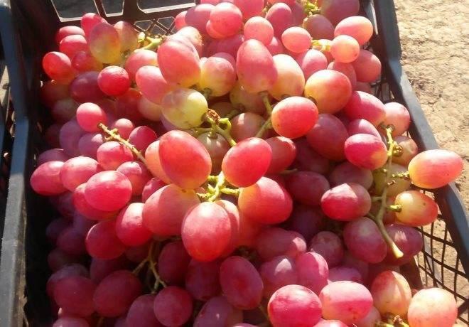 Виноград анюта: описание сорта, характеристики и отзывы