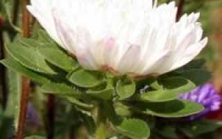 Астра пионовидная: сорта и выращивание