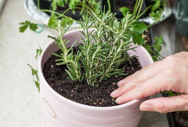 Выращивание розмарина дома на подоконнике – основные правила посадки и ухода