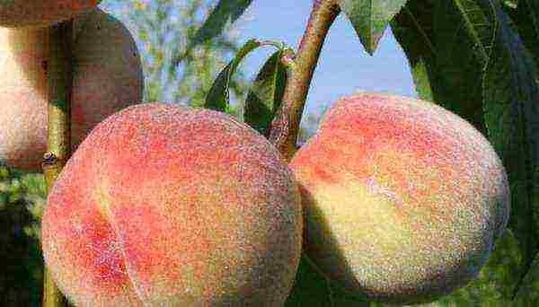 Персик — выращивание и уход