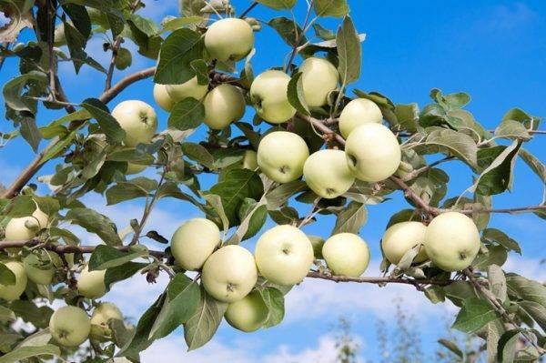 Яблоня белый налив: особенности сорта и ухода