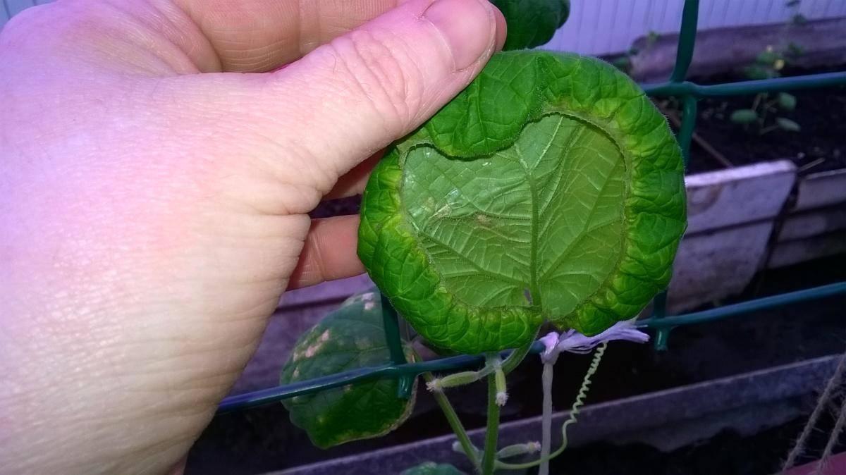 Листья у огурцов закручиваются во внутрь: причины, что делать