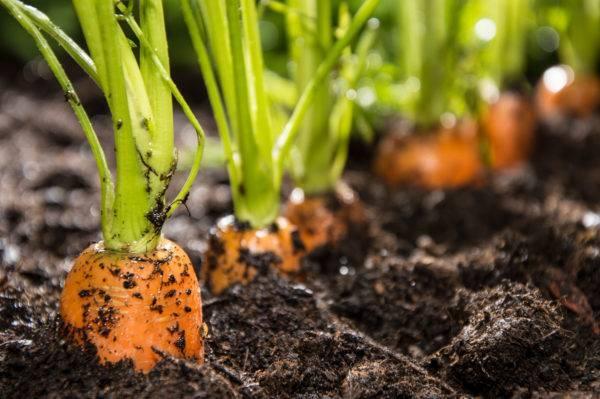 Как самостоятельно вырастить семена моркови в домашних условиях