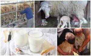 Молочные козы: правила по уходу и содержанию